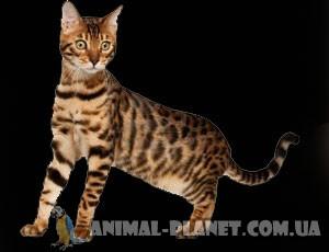 Бенгальская домашняя кошка продажа