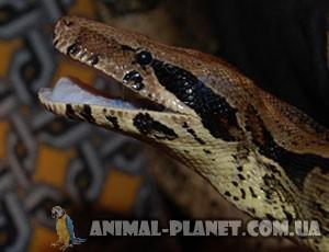 http://www.animal-planet.com.ua/img/catalog/imperatorskiy-ydaw.jpg