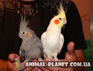 купить попугая корелла в киеве цена