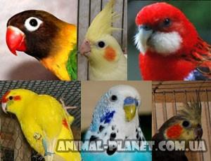 все породы попугаев с фото