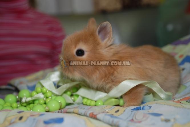 О карликовых и декоративных кроликах в домашних условиях