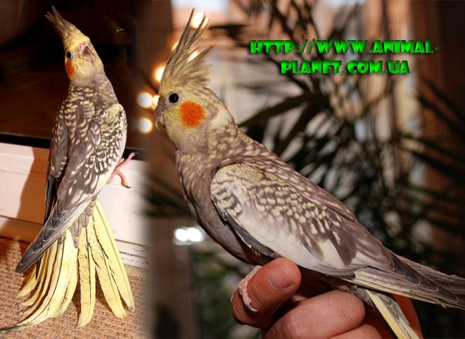 купить попугая корелла у заводчика